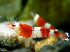 Crystal Red Shrimp A class