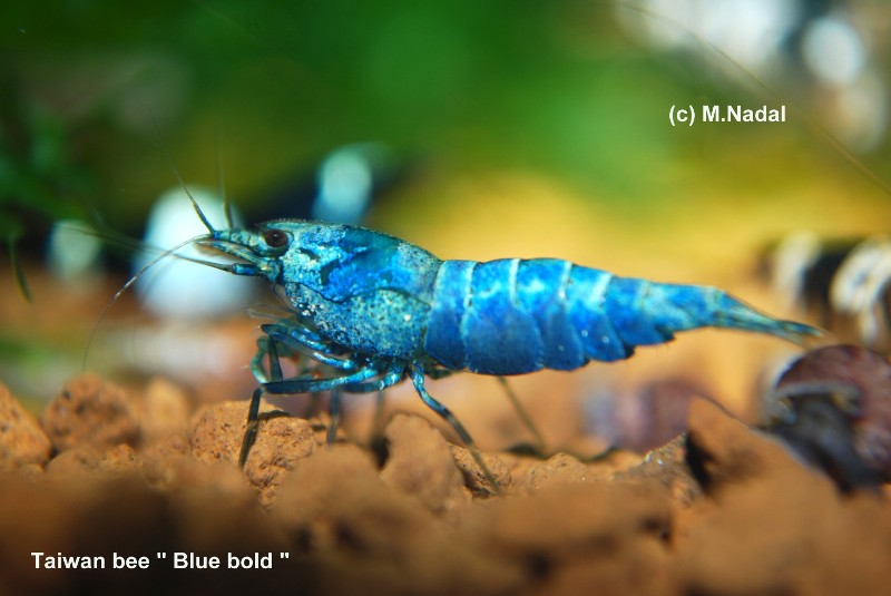 Taiwan Bee Blue Bolt