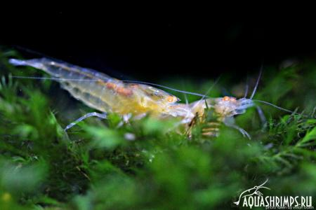 Caridina - Orange Eye