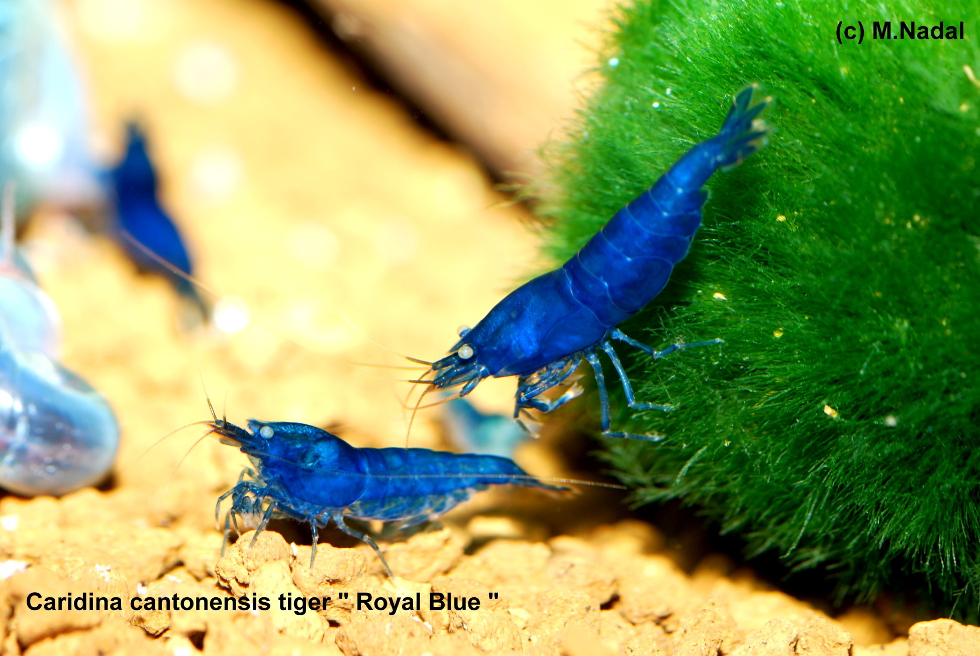 Caridina sp. cantonensis Tiger Royal Blue (Королевский Синий)