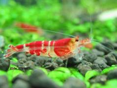 Crystal Red Shrimp C class