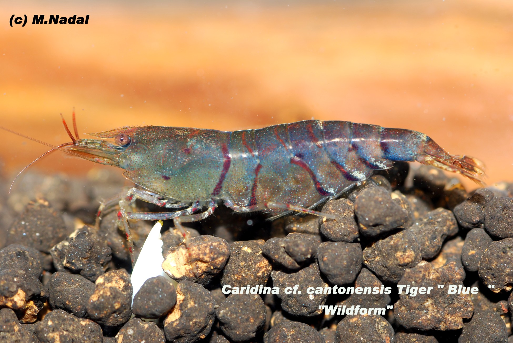 Caridina sp. cantonensis Tiger Blue/Wildform (Синий/Дикая форма)