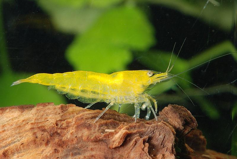 http://aquashrimps.ru/images/yellow%20shrimp.jpg