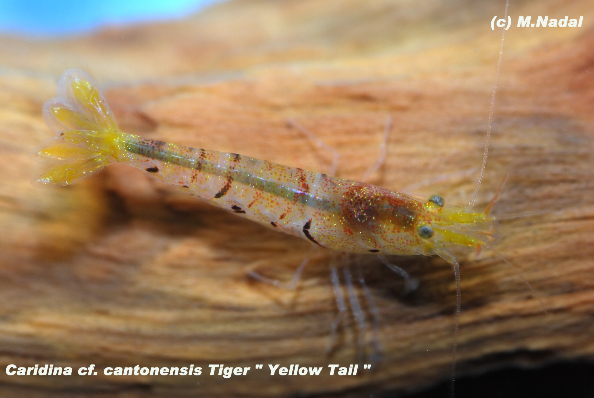 Caridina sp. cantonensis Tiger Yellow Tail (Желтый хвост)