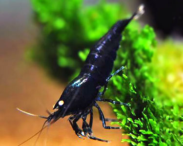 "Caridina cantonensis sp. ""Black Tiger"""